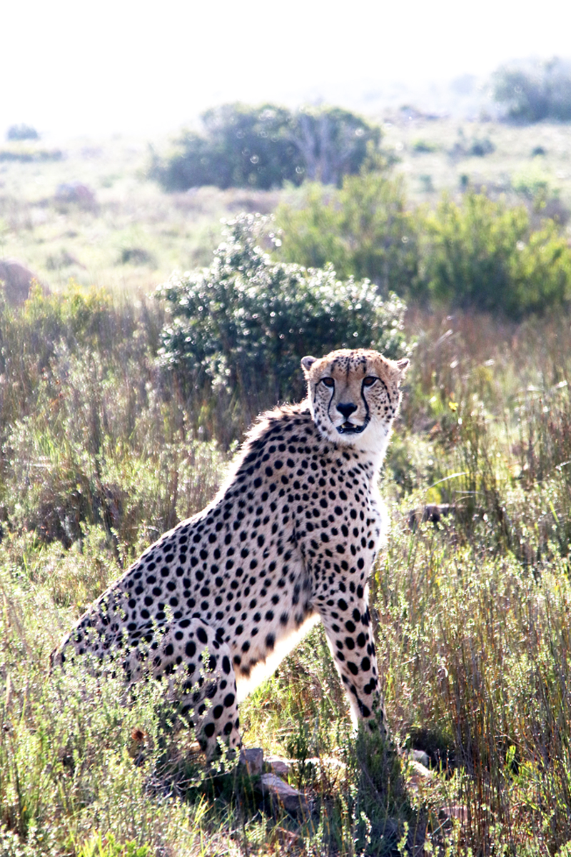 04Nov18Cheetah12
