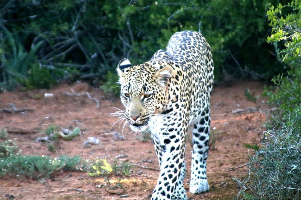 06Nov18Leopard11