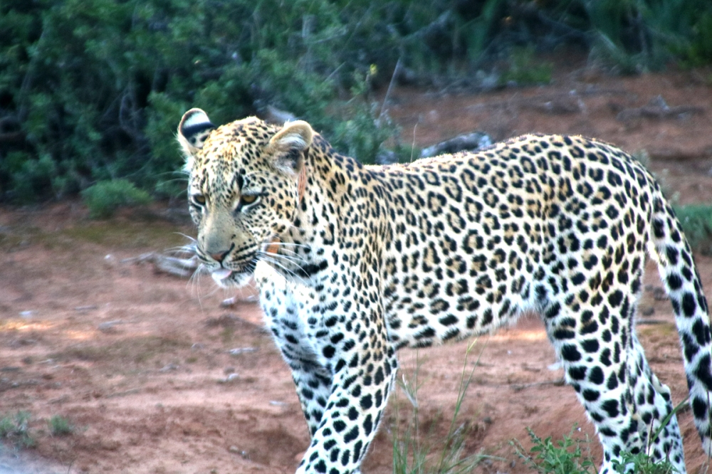 06Nov18Leopard15