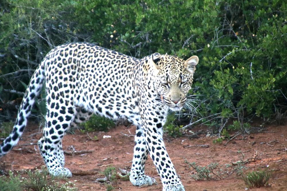 06Nov18Leopard6