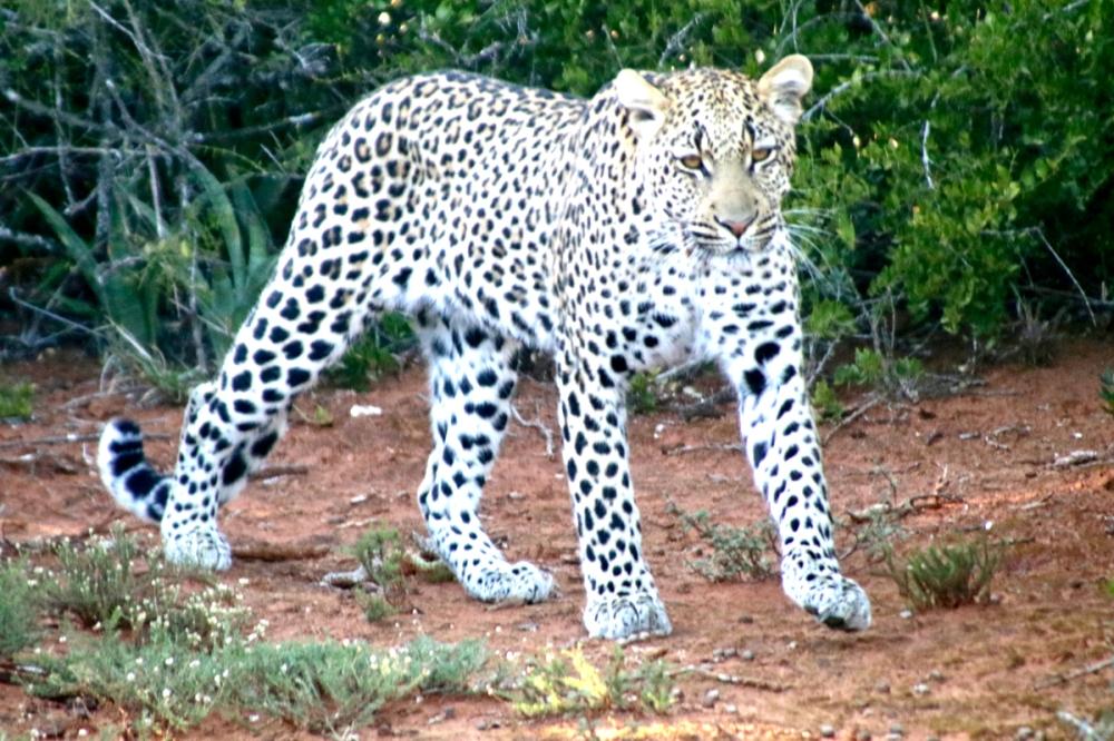 06Nov18Leopard9