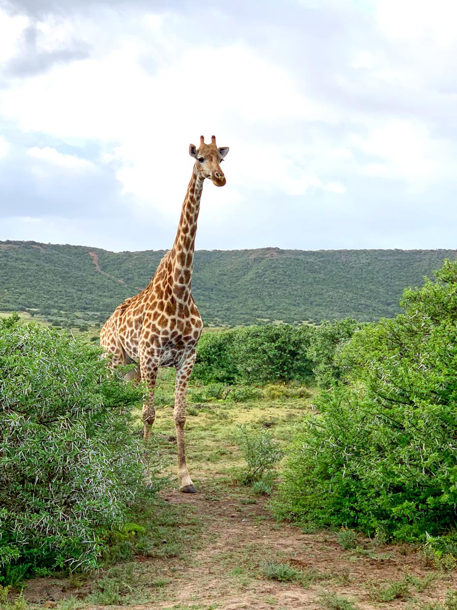 08Nov18Giraf1