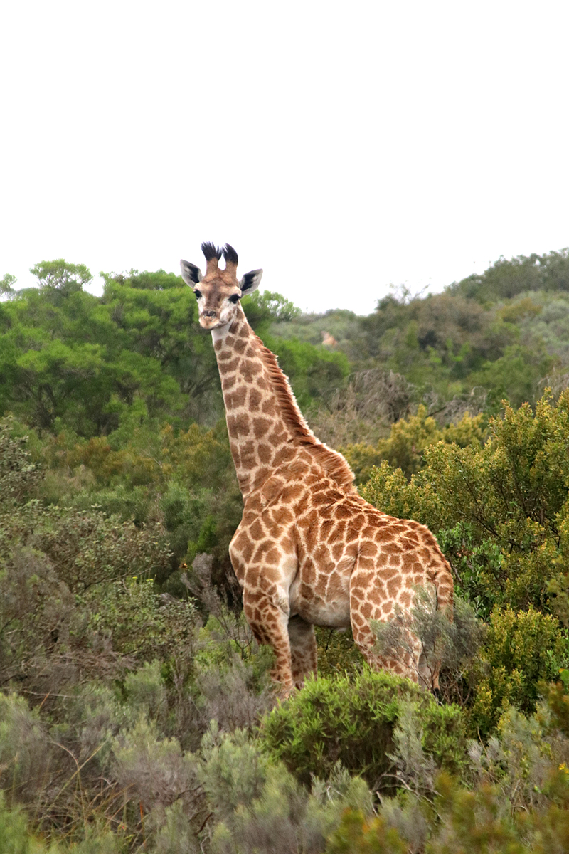 08Nov18Giraffe5
